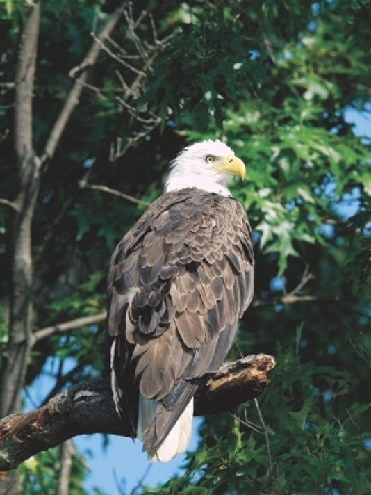 635833634691089660-Bald-Eagle