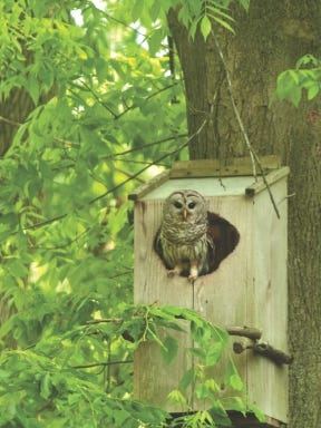 Barred owls only nest once per year and lay an average of two or three eggs per nesting.