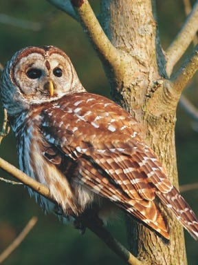In central Wisconsin, the great horned, barred and Eastern screech owls all prefer to inhabit wood lots and edges of the woods.