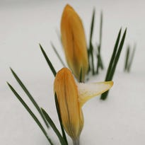 Snow Crocus is an early bloomer.