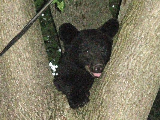 Elmira Bear
