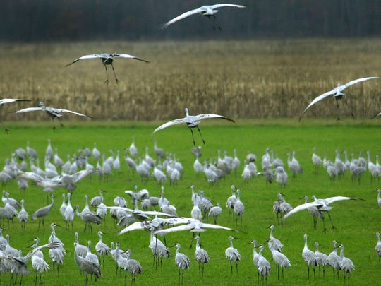 Sandhill cranes gather at the Jasper-Pulaski Fish &