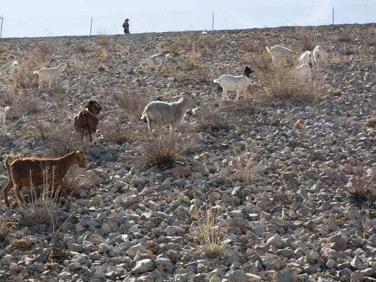 A herd of goats penned atop Las Cruces Dam is tasked with eating weeds Thursday, May 25, 2017. The city rents 40 to 50 goats to act as weed control on the dam, costing $58,800. In about a year of work, the goats are about 75 percent of the way through the almost three-mile-long dam.