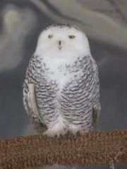 A female snowy owl, shown Friday, March 16, 2018, is