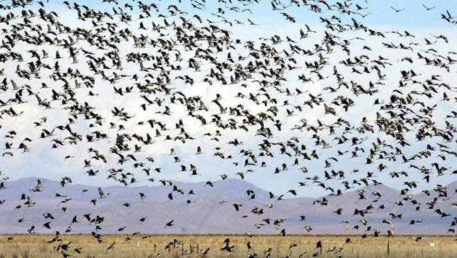 Thousands of sandhill cranes prepare to land near the Apache Station Wildlife Viewing Area near Willcox after feeding on cornfields in Sulphur Springs Valley.