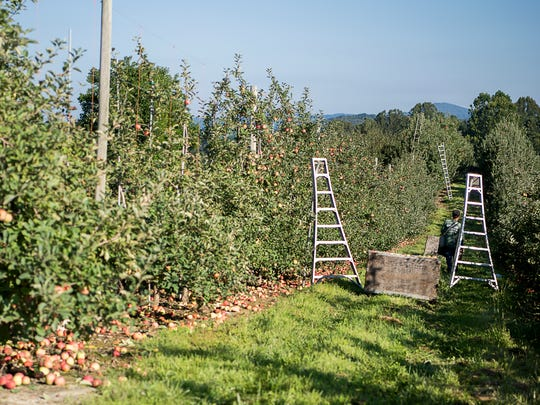 Immigrant laborers pick apples for work Aug. 30, 2016