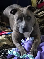 Duchess is an adult, spayed-female pit bull terrier.