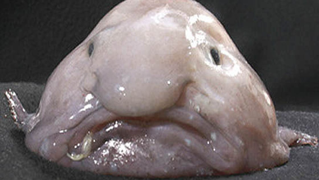The blobfish ugliest beast of all for Ugly fish blob