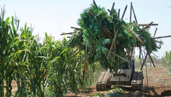 In this Aug. 21, 2014 file photo, authorities remove marijuana plants found growing in a corn field in southeast Terra Bella, Calif. Nearly two months after recreational marijuana became legal in California, less than 1 percent of the state's known growers have been licensed, according to a report released Monday, Feb. 19, 2018, by a pot industry group. (