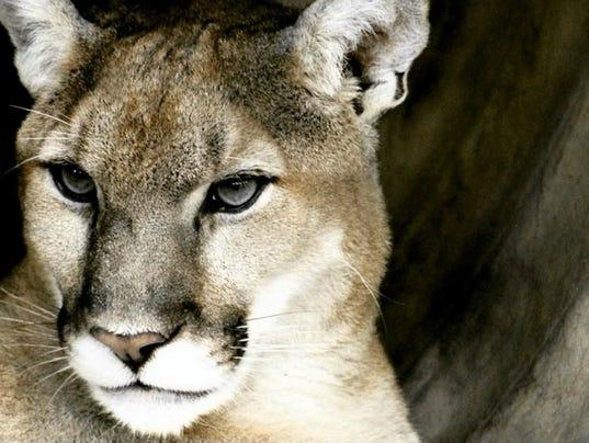 636543988229662008-mountain-lion-by-Haley-Stike.jpg