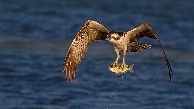 An osprey snatches a fish from a stream. An Oregon lawmaker is proposing to make the osprey Oregon's state bird.