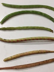 White acre peas turn white with a purple cast when
