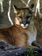 A mountain lion rests at the Arizona-Sonora Desert