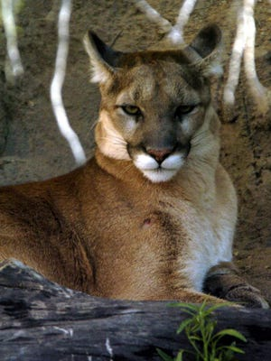 A mountain lion rests at the Arizona-Sonora Desert Museum in Tucson.