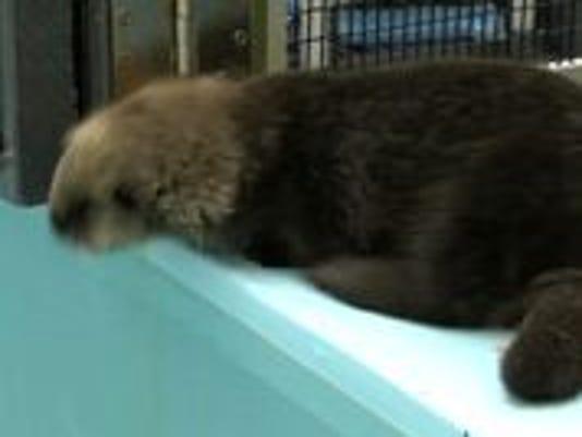 Stranded female otter pup