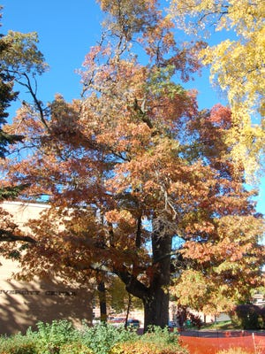 The northern pin oak on the UW-Stevens Point campus had been standing before the university was founded in 1894.