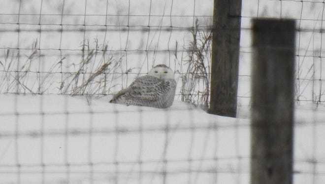 Pam Rasmussen, assistant professor in the Department of Integrative Biology who teaches an ornithology course, took photos of a snowy owl on MSU's campus Monday, Feb. 12, 2018.