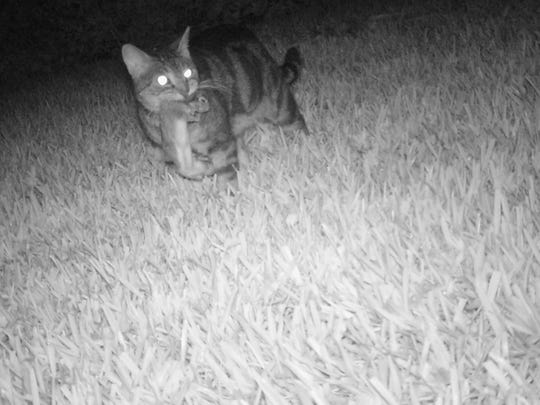Instead of capturing a mother rabbit returning to her nest, a motion sensor camera reveals a baby rabbit being predated upon by a domestic cat.