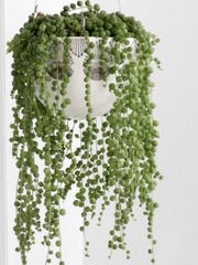 Senecio, also called a Rosary String. these delicate hanging stems are dotted all the way down with fully rounded pea-like leaves.