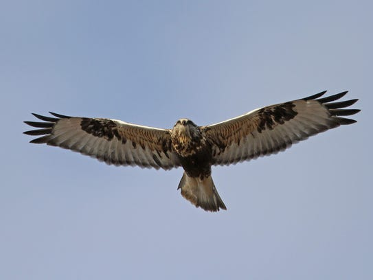 This light-morph rough-legged hawk was photographed