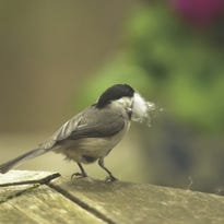 Animal hair, dryer lint out in new guidelines for bird nesting materials