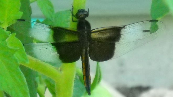 Gerrit DeJonge, Sturgeon Bay, found this male widow skimmer dragon fly on his tomato plants July 20, 2013.