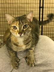 Pixel is outgoing 1-year-old female cat who has extra toes on the front paws.  She loves to sit on shoulders and get cuddled. She is likely a tabby and Abyssinian blend. She's very active and will do better in the house with no other cats; dogs would be fine. Kids ages 13 and older are fine. Adoption fee is $50. She is spayed, micro chipped, current on rabies and shots. Visit Tails of Rescue Adoption Center, 981 Lake Blvd., Redding. Call 448-7444. Go to http://tailsofrescue.org.