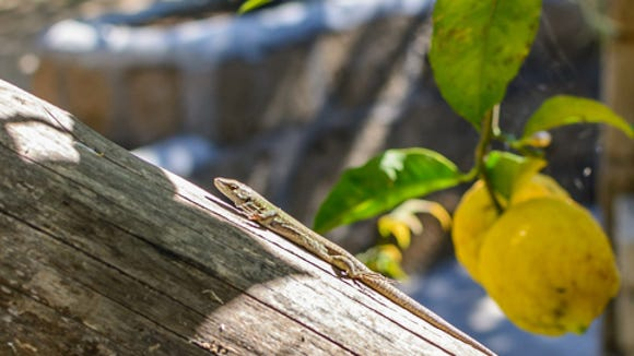 Do lizards need water? Clay Thompson tackles the must-know