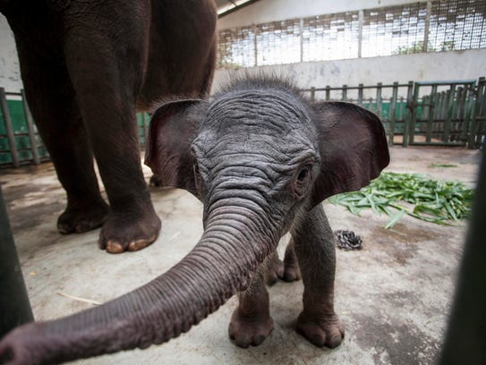 A 7-day-old female Sumatran elephant calf stands with
