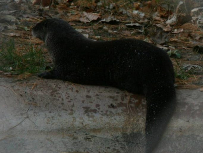 A Wisconsin Department of Natural Resources zoologist said the animal Todd Schneider likely spotted at the Sister Bay Marina in 2013 was a Lutra canadenis or northern river otter like this one.