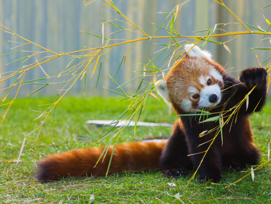 Red pandas grow about as large as a raccoon. The WNC