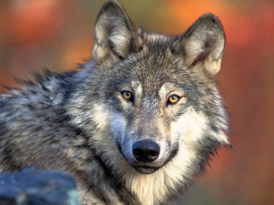 A gray wolf.