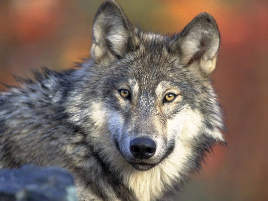This April 18, 2008, file photo provided by the U.S. Fish and Wildlife shows a gray wolf.