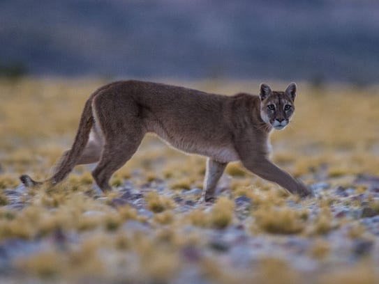 Large predators such as mountain lions are being found