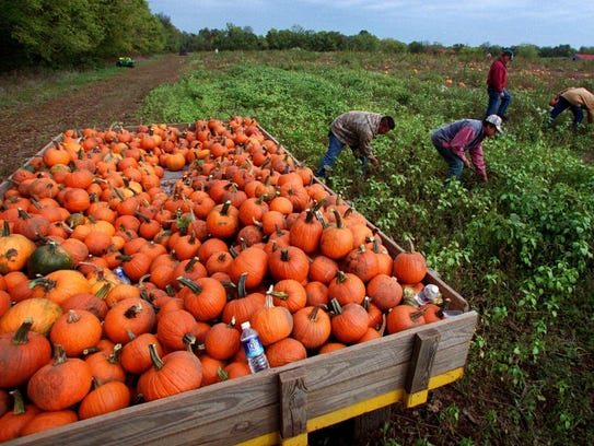 Workers pick pumpkins from Gentry Farm in Franklin,