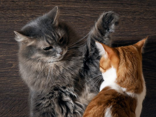 Fighting cats. Concept - the tense situation