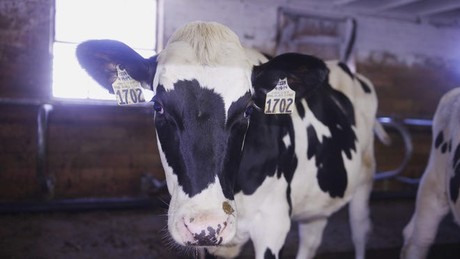One of Tony Simon's 325 cows walks around in one of the farm's barns.