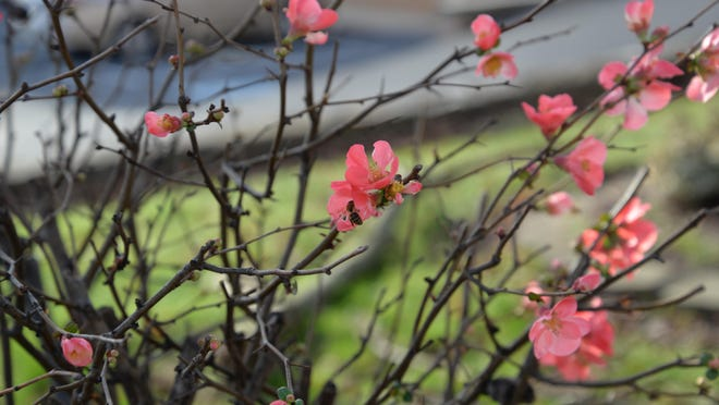 A quince shrub starting to bloom in Staunton, with a bee gathering pollen on Sunday. A quince shrub starting to bloom in Staunton, with a bee gathering pollen on Dec. 27, 2015.