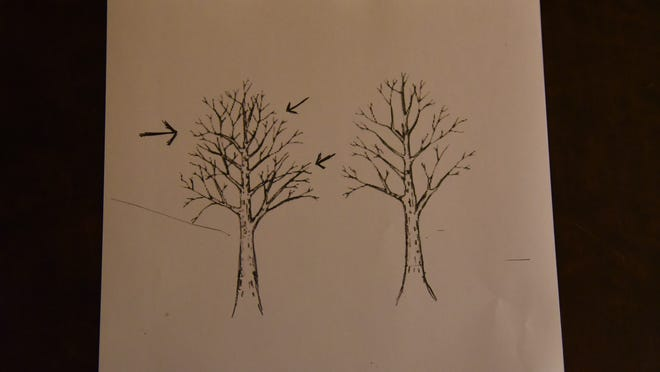 Remove extra branches, branches that are crossing or branches growing at a funny angle.