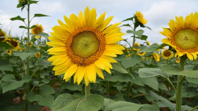 These beautiful sunny yellow flowers are in the field of sunflowers my son grows. As the flower head matures and they go to seed, goldfinch (birds) are flitting around everywhere in the field.