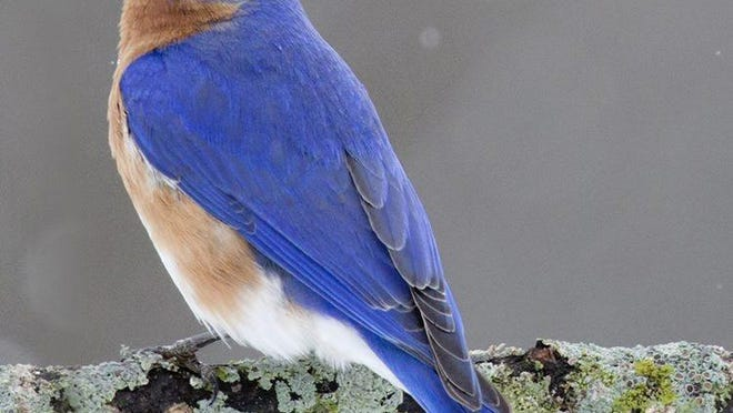 Bluebirds are appearing more frequently in the region.