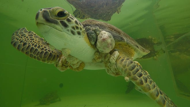A green sea turtle with fibropapillomatosis swims in an outdoor tank at Texas Sealife Center on Sunday, Jan. 29, 2017.