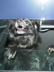 A dog peers out from a vehicle's window to illustrate the dangers of pets left in hot vehicles. The dog was not in danger at any time.