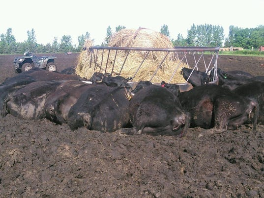 Cattle killed by lightning