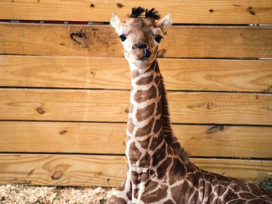 April the giraffe's calf sits in his pen Monday, April