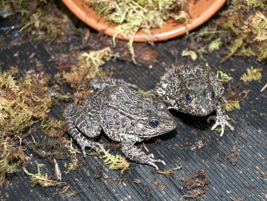 AP MISSISSIPPI GOPHER FROGS A USA MS
