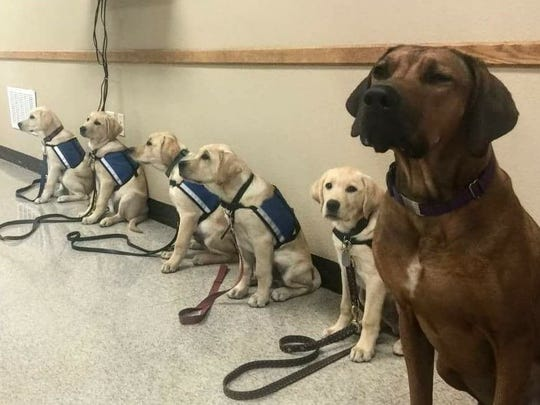 Soon-to-be service dogs line up for a day of training. Paws and Effect teaches obedience, how to open doors, retrieve items, tolerate movement and more.