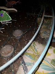 Water boatmen bugs as seen in Palm Springs' Gene Autry