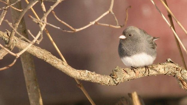 This image of a dark-eyed junco was captured by Chemung Valley Audubon Society member Monika Wood.