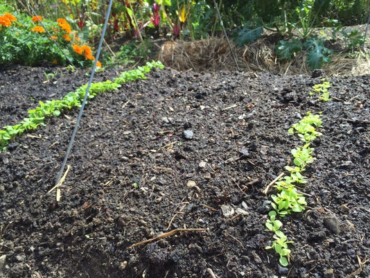 This year's crop of greens is just starting to sprout.
